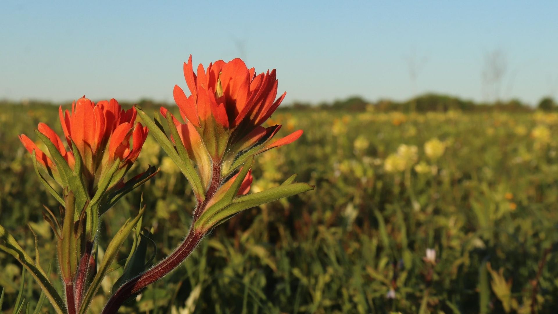 Indian Paint Brush BS