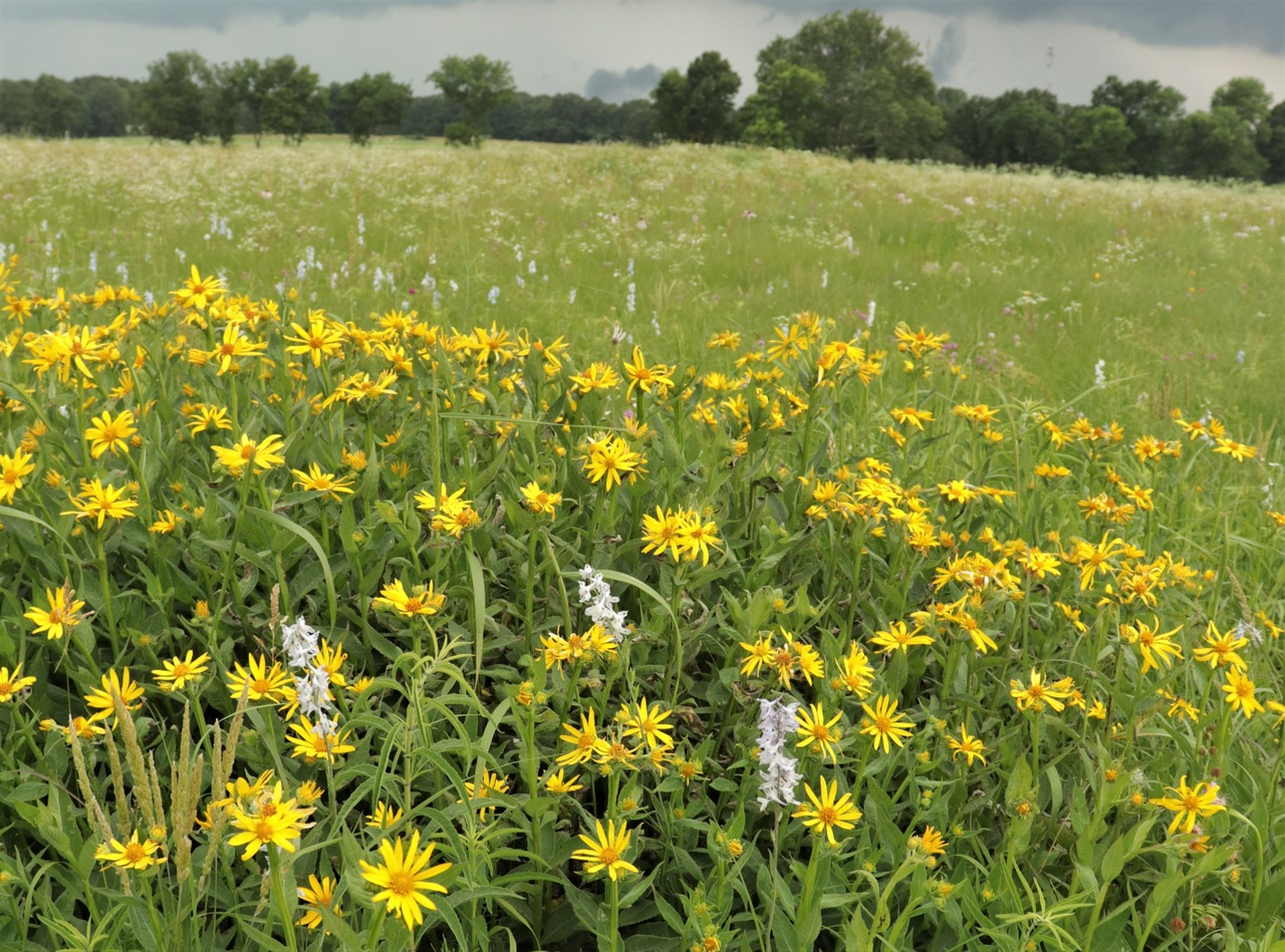 Yellow flowers in bloom at MPF's Carver Prairie