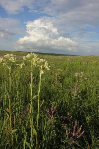 Prairie Indian Plantain (Arnoglossum plantagineum)