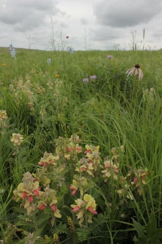 Linden's Prairie GoatsRue (Tephrosia virginia) & other wildflowers