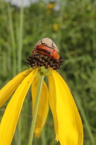 Beetle on gray-headed coneflower (Ratibida pinnata)- Stark Prairie