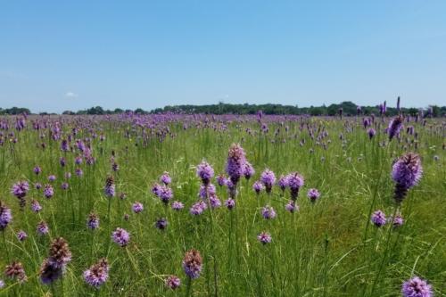 Blazing star flowers blooming in field