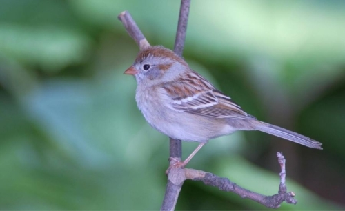 Field sparrow MDC