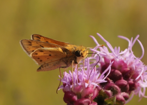 Skipper moth on purple rough blazing star flower