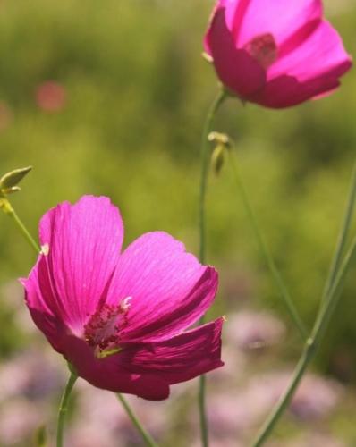 Fringed poppy mallow (Callirhoe digitata)