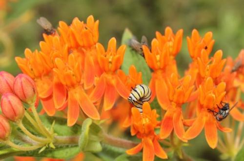 Monarch caterpillar on butterfly milkweed (Asclepias tuberosa)