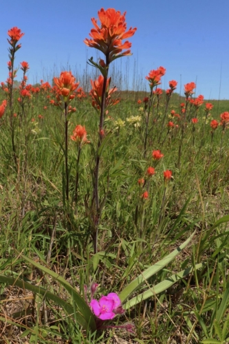 Indian paintbrush and dwarf spiderwort flowers in bloom
