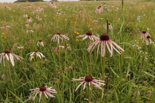 Late spring/early summer flowers blooming at Noah Brown's Prairie. Photo: Bruce Schuette