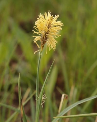 Mead's sedge (Carex meadii)