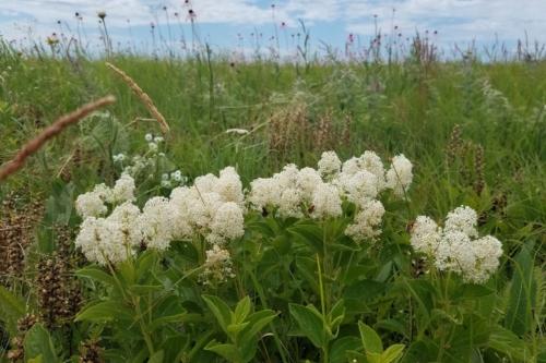 White New Jersey tea flowers in bloom