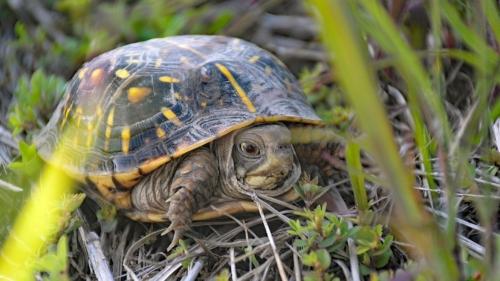 Ornate box turtle at MPF's Bruns Tract