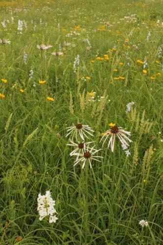 Pale purple coneflower (Echinacea pallida), June grass (Koeleria macrantha), and other wildflowers.