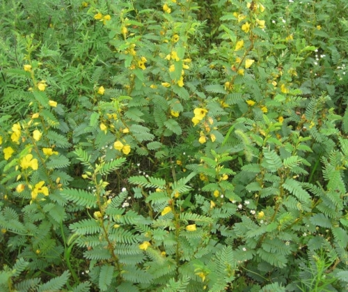 Yellow partridge pea flowers blooming