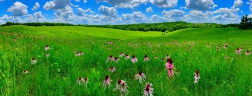Purple coneflowers blooming in a green prairie with a bright blue sky