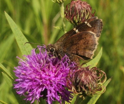 Skipper on Arkansas ironweed (V. arkansana) - Stark Prairie