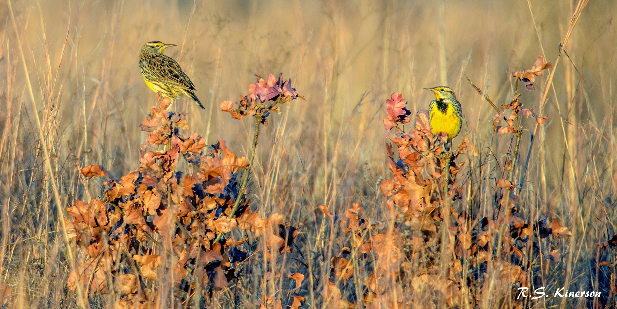 meadowlarks in evening sun