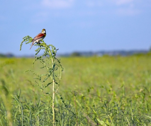 Dickcissel bird perched on prairie plants at Bruns Tract