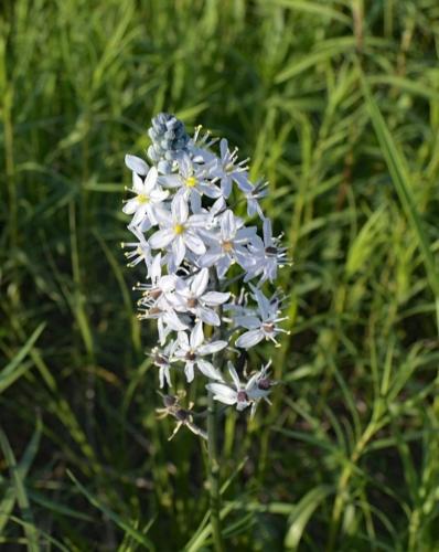 Wild hyacinth flower at Bruns Tract