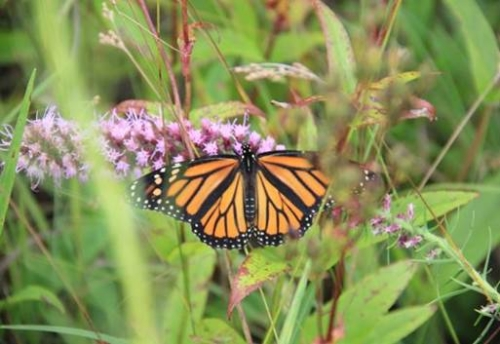 Monarch butterfly on purple flower
