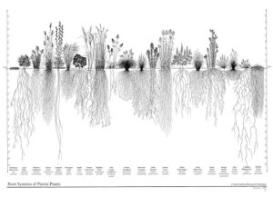 Hypothetical image of prairie plant profile by Conservation Research Institute, Heidi Natura