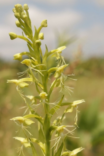 Ragged fringed orchid (Platanthera lacera) Photo: Bruce Schuette