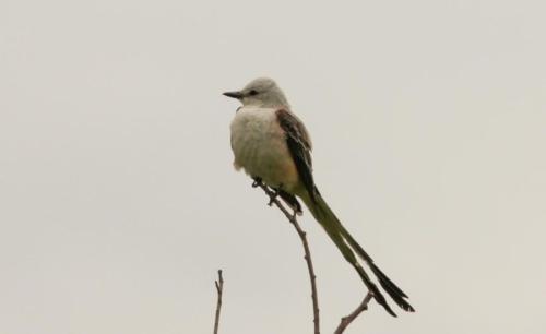 scissor-tailed flycatcher near Denison Prairie BS