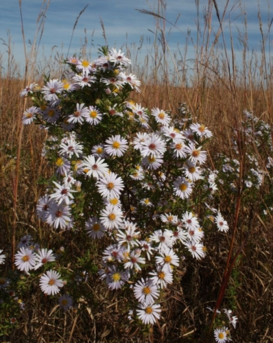 Willow-leaved aster (Symphyotricum praealtum) Photo: Bruce Schuette