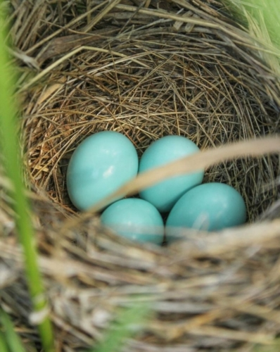Blue Dickcissel eggs in nest