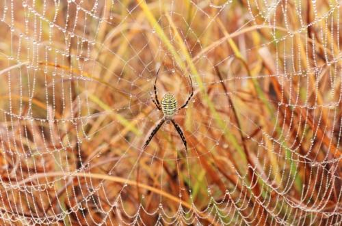 Garden spider and dew Snowball Hill Prairie