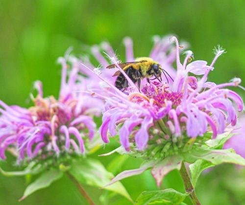 Native bee on bee balm (Monarda fistulosa) Steve Johnson Snowball