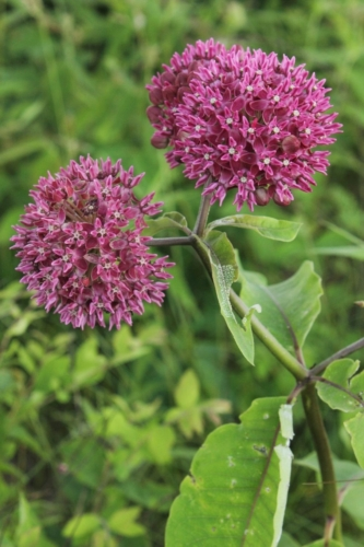 Purple milkweed (Asclepias purpurascens) by Bruce Schuette