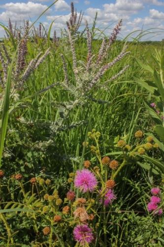 Sensitive briar (Mimosa quadrivalis) and leadplant (Amorpha canescens)