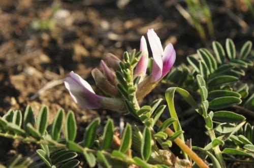ground plum (Astragalus crassicarpus crassicarpus) on Snowball Hills Prairie
