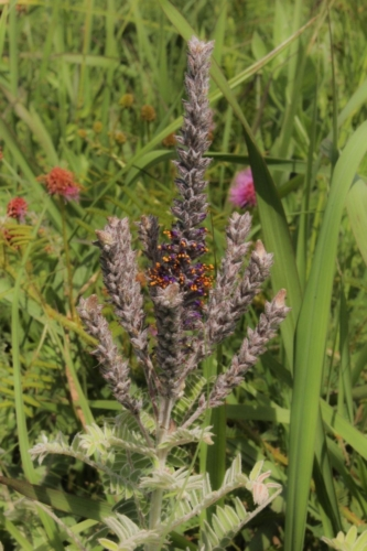 purple fuzzy leadplant in green grasses