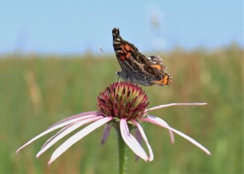 American Lady butterfly at Penn-Sylvania Prairie