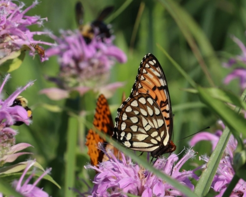 Regal Fritillary butterfly at Penn-Sylvania Prairie