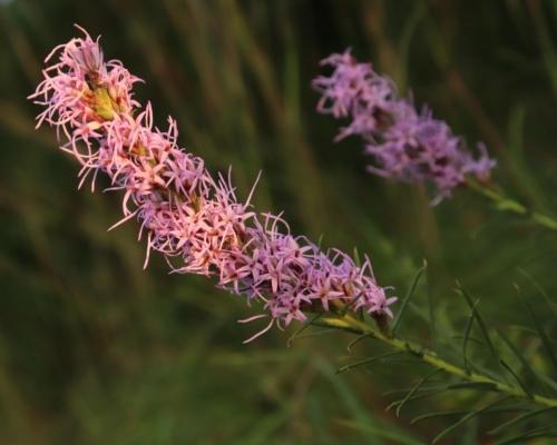 feathery purple flower