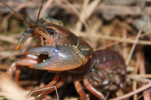 colorful brown crayfish in grass