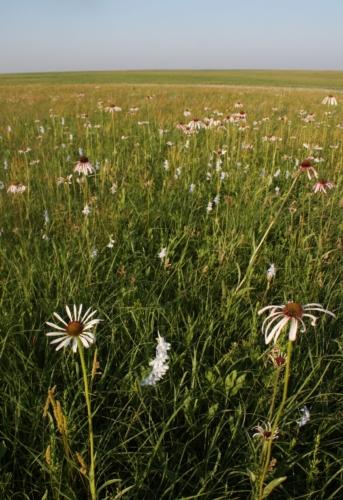 pale coneflowers in green field