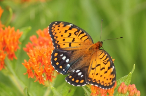 black and orange butterfly on orange butterflyweed