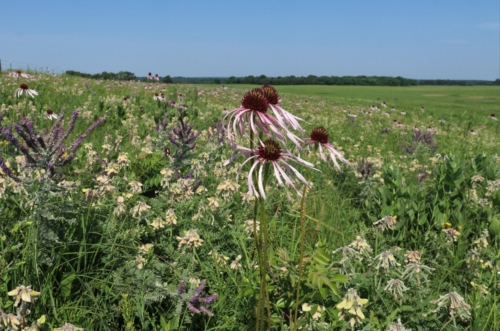 Pale-purple coneflowers surrounded by other wildflowers in a field