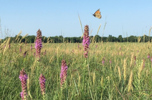 Monarch butterfly flying over blazing star in prairie