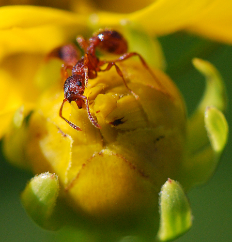 ant crawling on flower bud