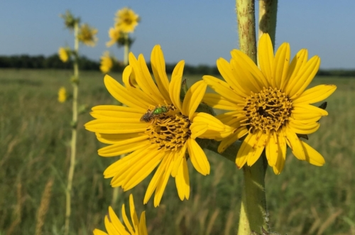 Native bee in flower of yellow compass plant