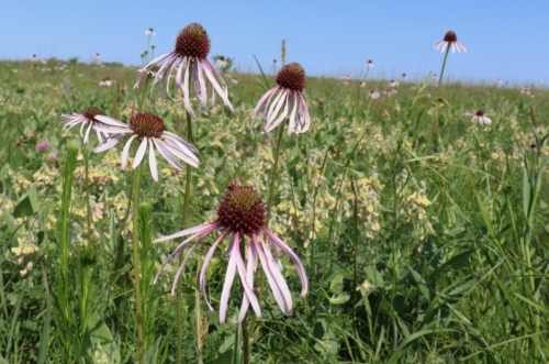 pale purple coneflowers blooming in green field