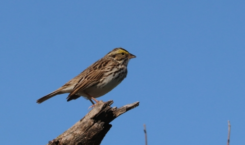 brown savanna sparrow bird against blue sky at pleasant run creek prairie