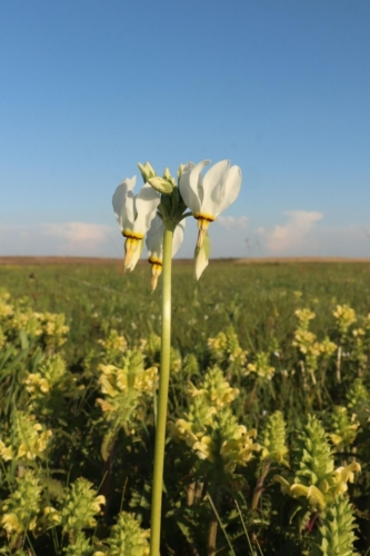 White shooting start flower in bloom