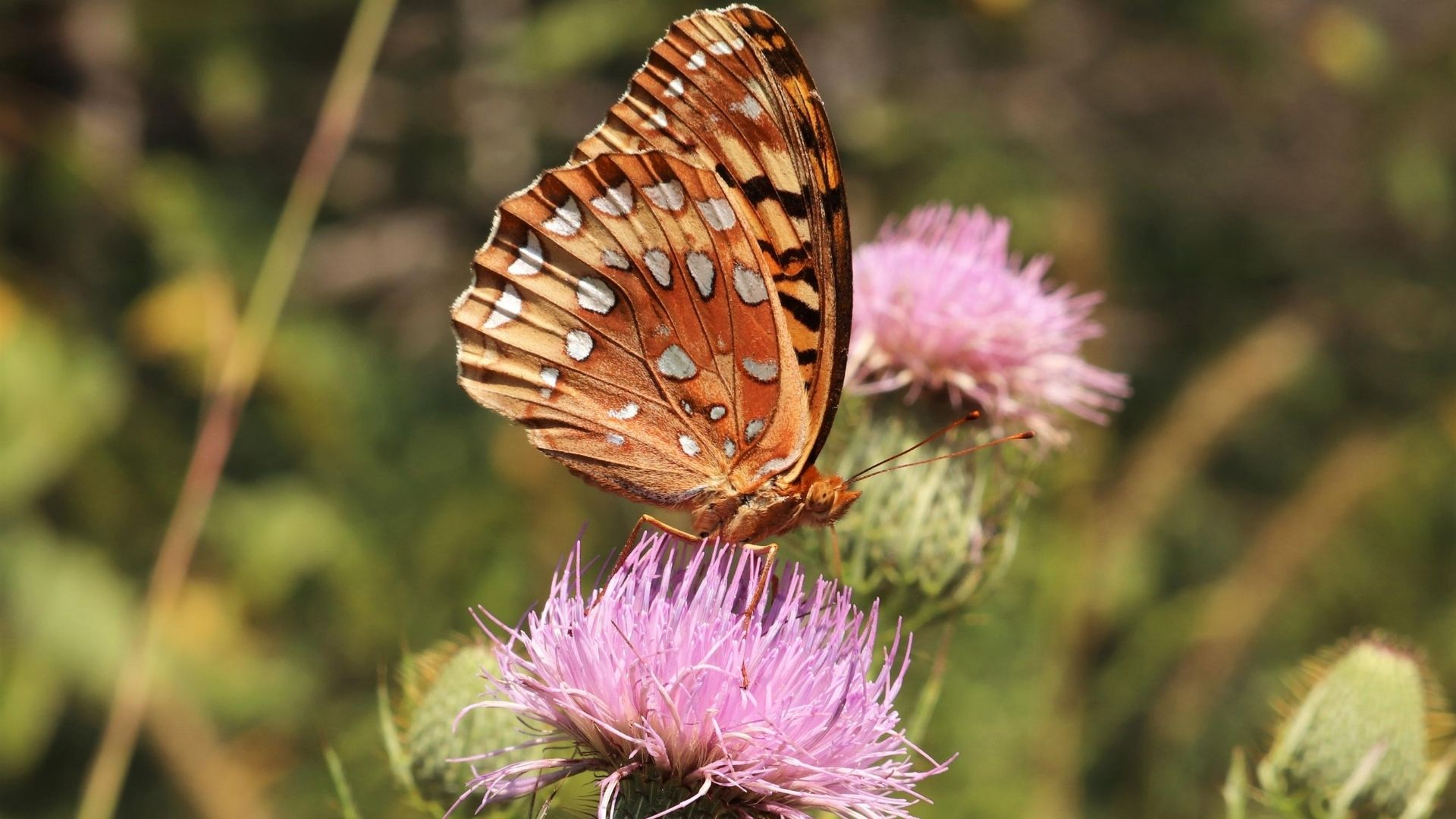 Great-spangled on a Field Thistle (Cirsium discolor)