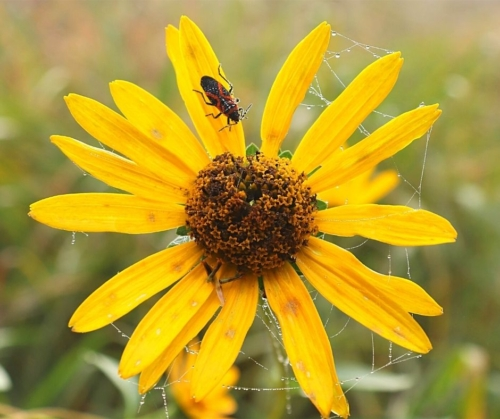 milkweed bug on yellow composite flower