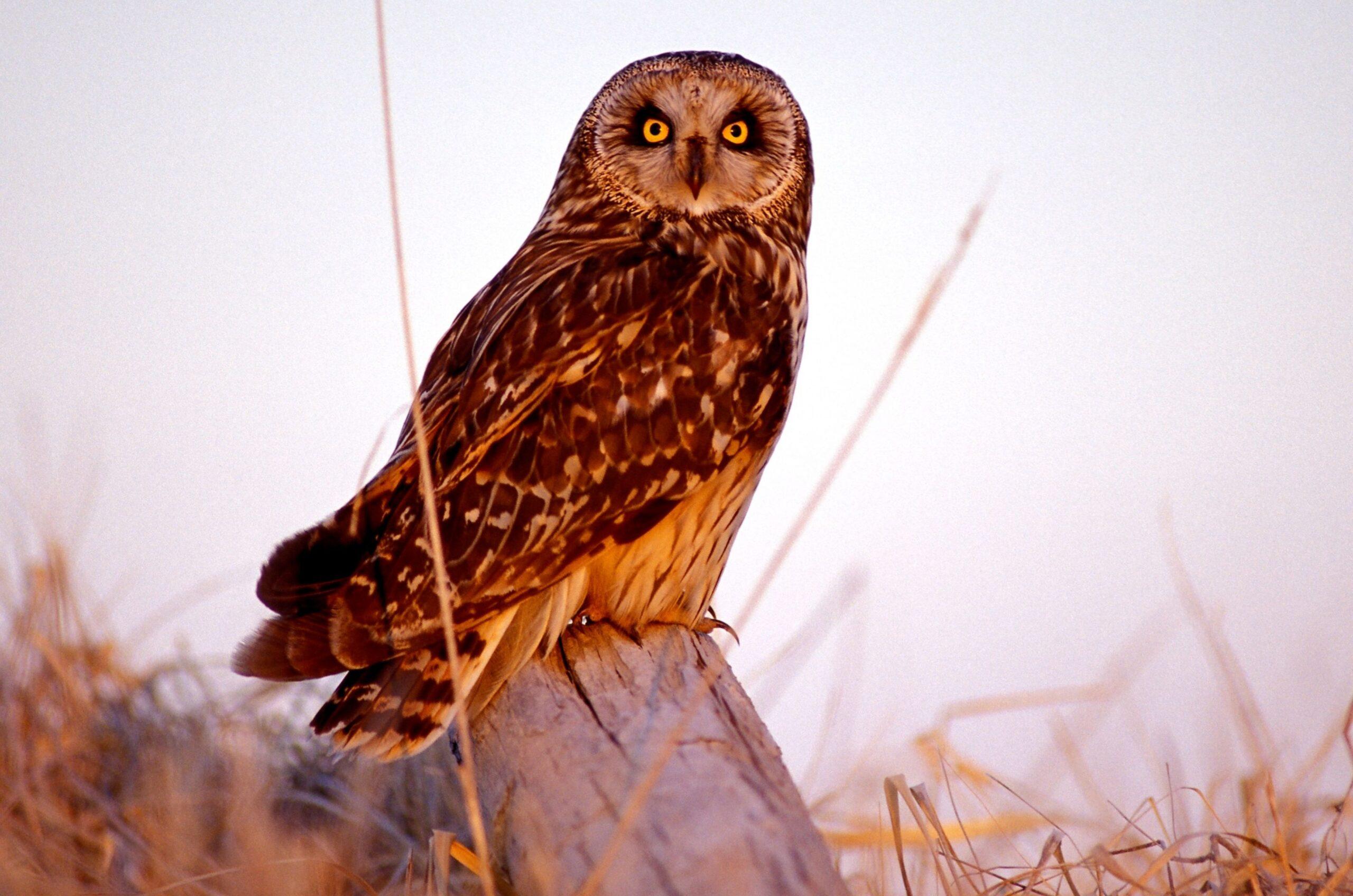 Short-eared owl MDC